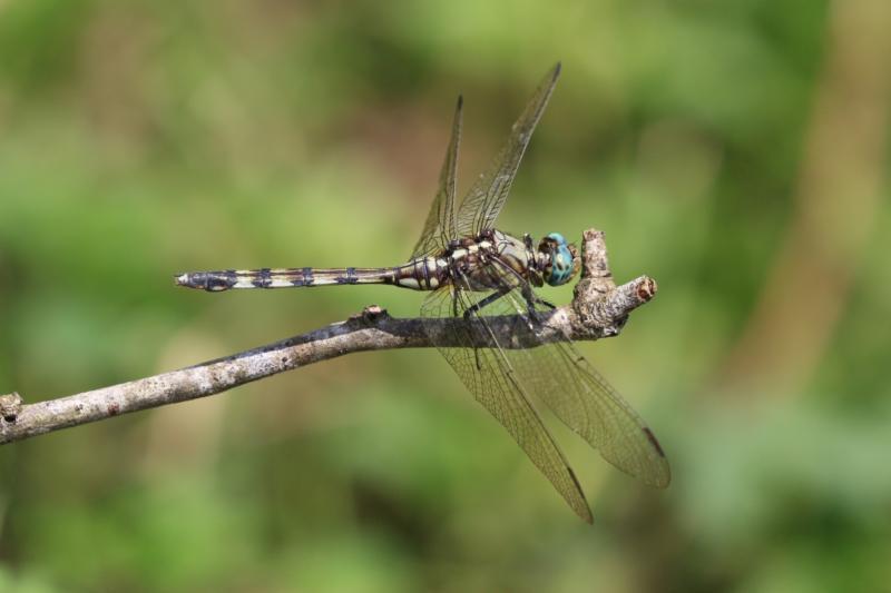 Long Skimmer